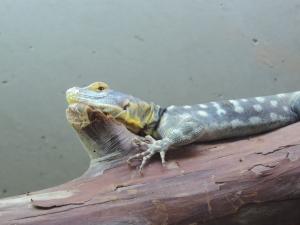 dragon de lawson (2)