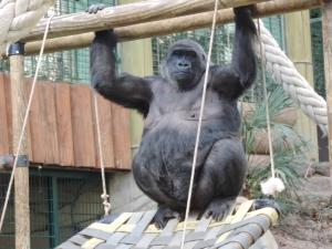 Gorille (32)