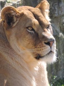Lionne (5)