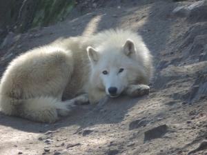 Loup arctique (36)