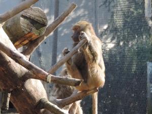 macaque (12)