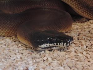 python à lèvres blanches (1)