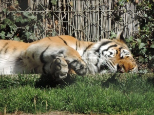 Tigre de Sibérie (13)