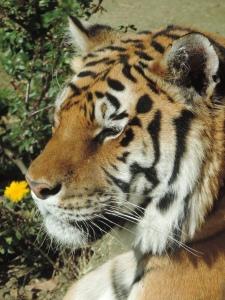 Tigre de Sibérie (21)