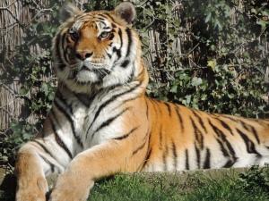 Tigre de Sibérie (7)