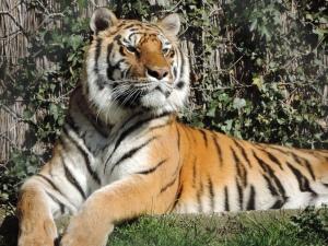 Tigre de Sibérie (8)