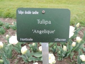 Tulipe Angelique (1)