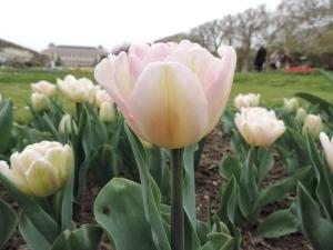 Tulipe Angelique (2)