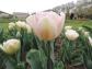 Tulipe Angélique :D