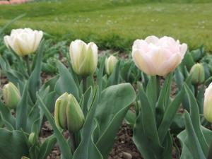 Tulipe Angelique (4)