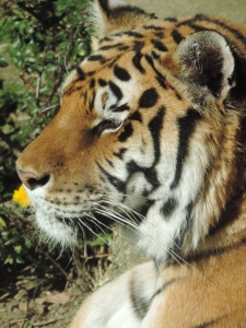 Tigre de Sibérie (20)