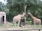 Girafe (1)