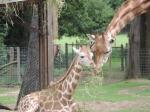 Girafe (6)