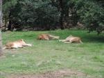 Lions (7)