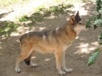 Loup gris (11)