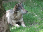 Loup gris (7)