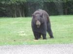 ours à collier (4)