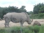 rhinocéros (3)