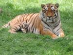 Tigres (19)