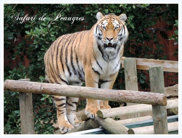 Tigres (40)-001